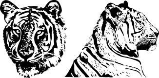 Tiger - hand drawing Royalty Free Stock Photography