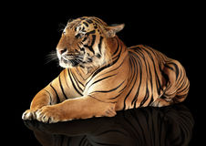 Tiger has a rest Royalty Free Stock Images