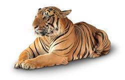 Tiger hat einen Rest Stockfotos