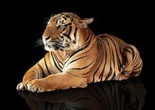 Tiger hat einen Rest Lizenzfreie Stockbilder