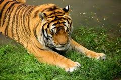 Tiger is Having a Bath Stock Photos