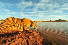 Tiger having a drink Stock Images