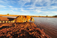 Tiger having a drink Stock Photo