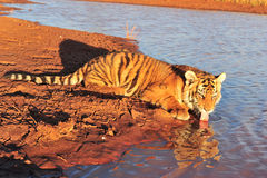 Tiger having a drink Stock Image