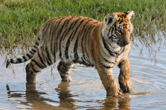 Tiger having fun in the water Royalty Free Stock Images