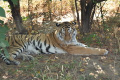 Tiger. Is having rest  below trees Royalty Free Stock Photo