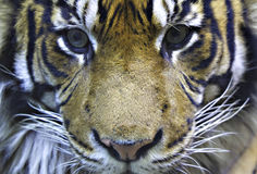 Tiger Head. Portrait of a male tiger head Royalty Free Stock Images