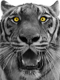 Tiger head. A isolated tiger head with its eyes staring front and mouth opened Stock Photography