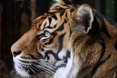 Tiger head. Male tiger head standing still Royalty Free Stock Photo