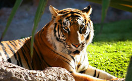 Tiger Head. A digital image of a tiger in a zoo in Tenerife stock photo