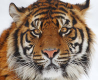 Tiger head royalty free stock photos