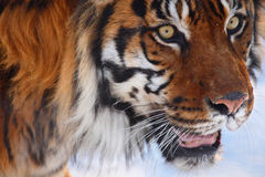 Tiger head. This big tiger is ready for hunting royalty free stock photos