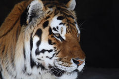 Tiger head. A portrait of a big tiger head royalty free stock images