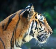 Tiger Head Imagens de Stock
