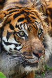 Tiger head. Close up shot of tiger head Royalty Free Stock Photography