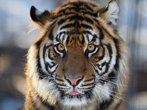 Tiger head. Close up shot of tiger's head Royalty Free Stock Photos