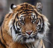Tiger head. Close up shot of tiger head Royalty Free Stock Photos