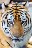 Tiger head. Close up of tiger head Royalty Free Stock Photography