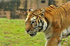 Tiger head. A close-up shot tiger head Stock Image