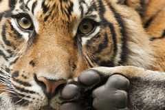 Tiger head and feet. Detail of tiger head and feet Royalty Free Stock Photography