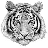 Tiger head hand draw isolated illustration. Tiger head hand draw monochrome on white background illustration Stock Images
