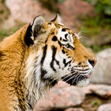 Tiger head isolated. With short focus Royalty Free Stock Photography