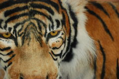 Tiger head. Keeping a close eye on things Royalty Free Stock Photo