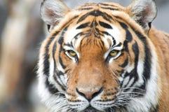 Tiger head looking at camera Royalty Free Stock Photos