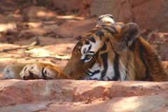 Tiger head, paws, profile. Tiger head and paws above the ground Royalty Free Stock Images