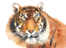 Tiger head portrait watercolor painting illustration isolated on white background Royalty Free Stock Photos