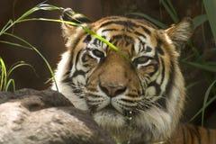 Tiger head shot. At the zoo Royalty Free Stock Image