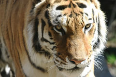 Tiger Head Shot Royalty Free Stock Image