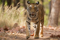Tiger, a head on shot. The tiger approached fearlessly towards us. I was laying flat on the floor of the Jeep to get the eyelevel shot Royalty Free Stock Photo
