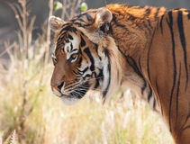 Tiger head from side. Detailed shot of a Tiger head seen from the side with blurred background Royalty Free Stock Photography