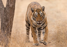 Tiger head on. Taken at Ranthambhore Tiger Reserve, a large male tiger walks up to the camera stock photos
