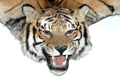 Tiger head - Trophy hunter. Stuffed animals royalty free stock photography