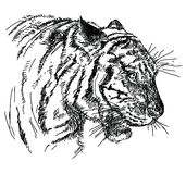 Tiger head vector hand drawing illustration Royalty Free Stock Images
