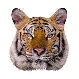 Tiger head white background. Tiger head on white background stock photography
