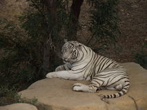 Tiger. Heat tired tiger resting in the shade of a tree stock photo