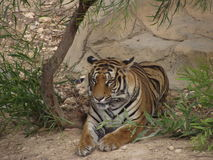 Tiger. Heat tired tiger resting in the shade of a tree stock photos
