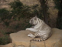 Tiger. Heat tired tiger resting in the shade of a tree royalty free stock photography