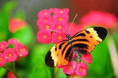 Tiger Heliconian butterfly Royalty Free Stock Images