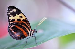 Tiger Heliconian butterfly on green leaf Royalty Free Stock Photography