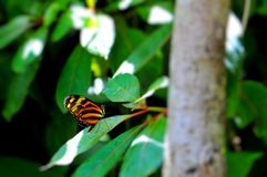 Tiger Heliconian butterfly Stock Images