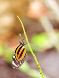 Tiger Heliconian butterfly (vertical) Stock Images