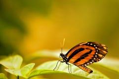 Tiger Heliconian-Schmetterling auf unscharfem Hintergrund Stockfotografie