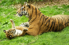 Tiger and her cub royalty free stock photos