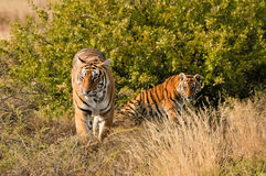 Tiger with her cub royalty free stock image