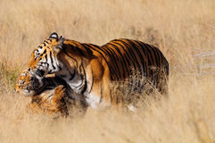 Tiger with her cub. Wild Tiger mother with cub Royalty Free Stock Photography