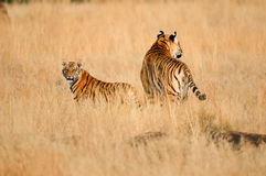 Tiger with her cub. Wild Tiger mother with cub Royalty Free Stock Photo